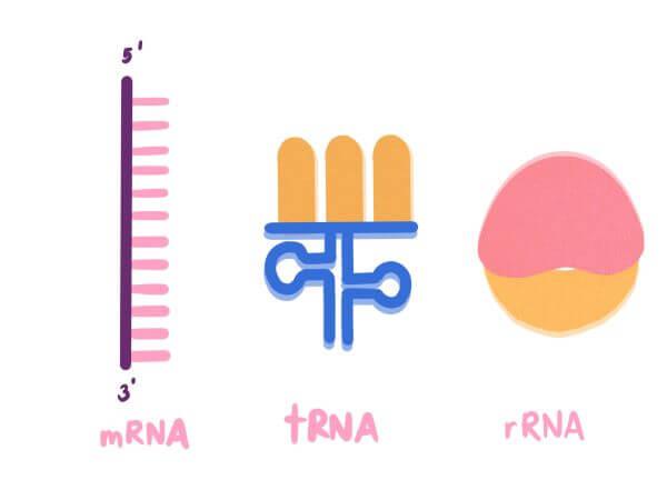 mRNA, rRNA and tRNA