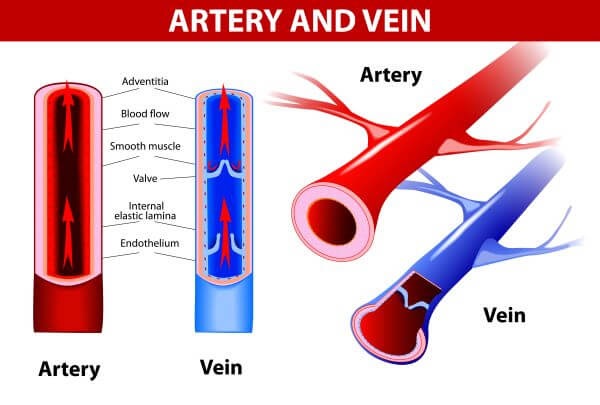 The structure of the arteries and veins