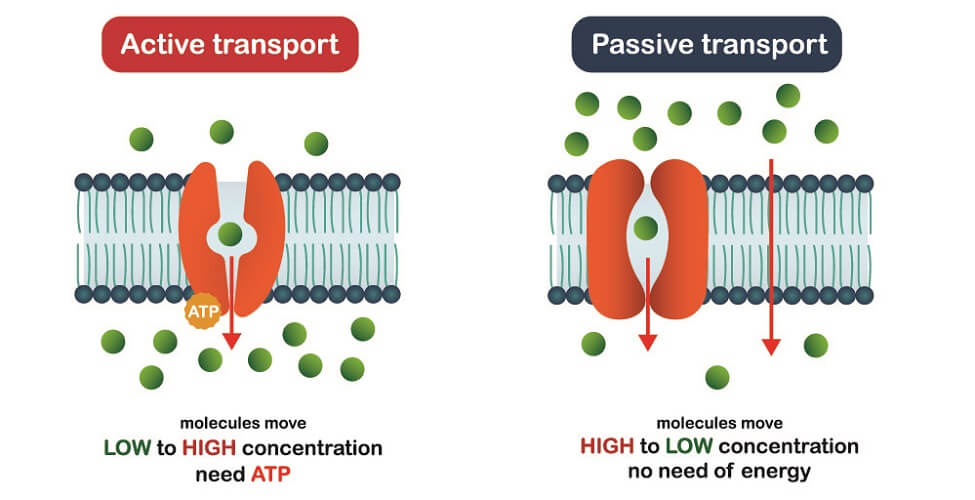 active passive transport osmolarity osmosis diffusion carrier transport proteins semi-permeable membrane