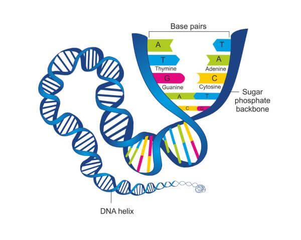 Nucleotides form base pairs