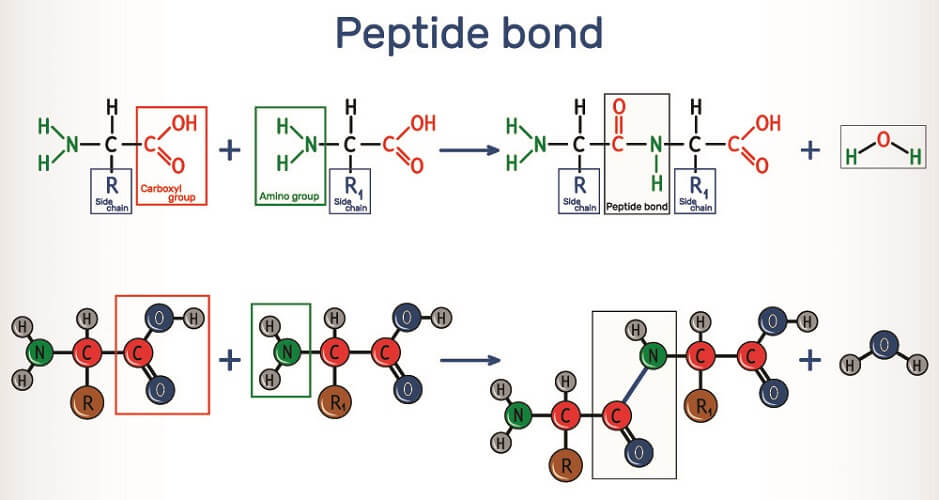 dehydration synthesis reaction peptide bond peptide polypeptide
