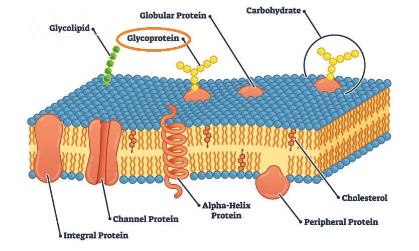glycoprotein glycoproteins