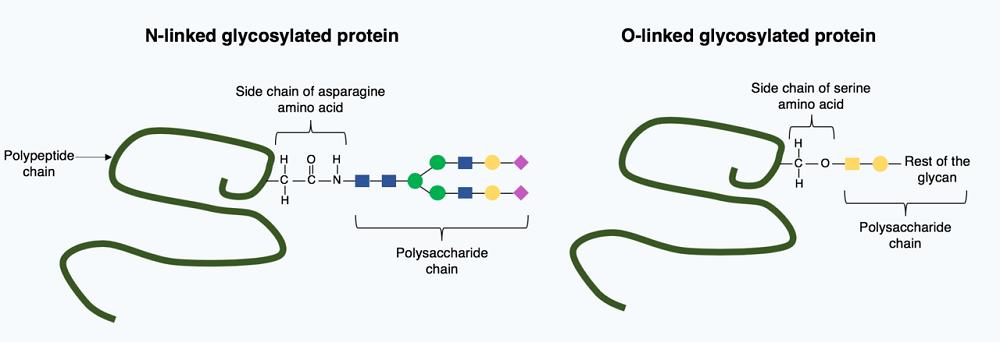 glycosylation glycans glycoproteins glycoprotein glycoconjugates