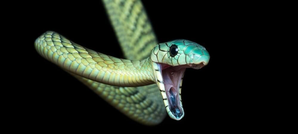 green mamba venom ACE inhibitor hypertension drug