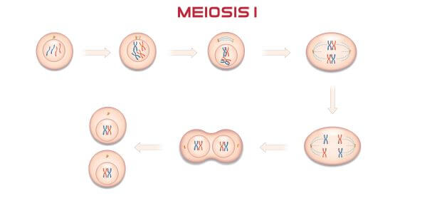 The phases of meiosis I