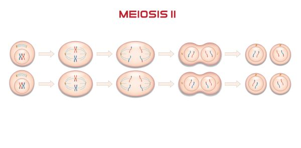 The phases of meiosis II