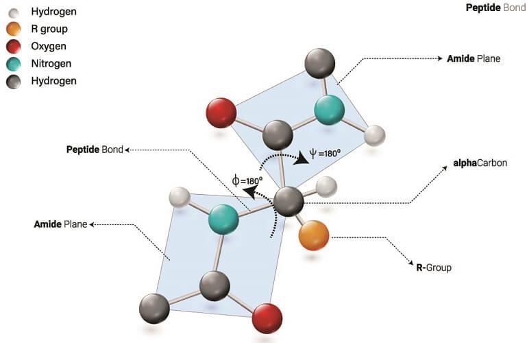molecular structure peptide polypeptide