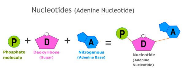 DNA molecules are made up of nucleotides