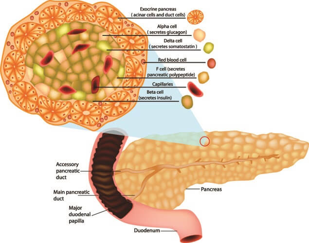 pancreatic polypeptide pancreas enzyme digestion islets of langerhans