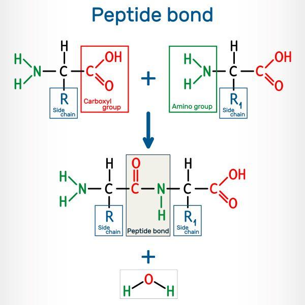 Peptide bonds join amino acids together