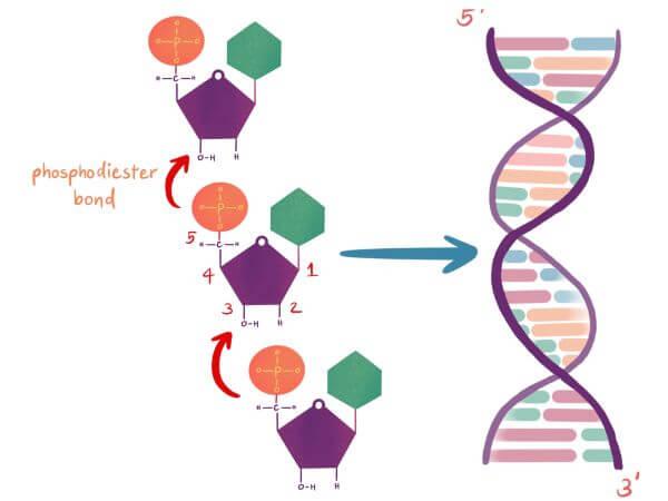 Nucleotides are joined together by phosphodiester bonds