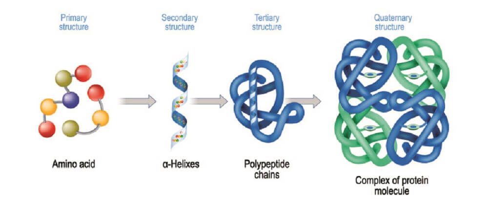 protein structure primary secondary tertiary quaternary polypeptide