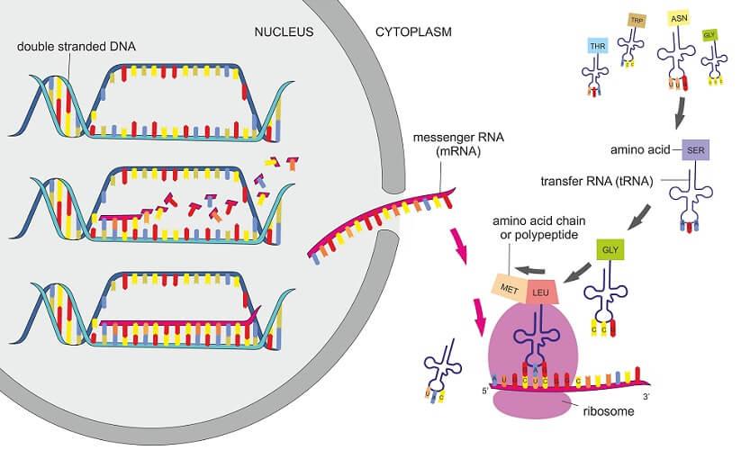 protein synthesis transcription translation DNA mRNA tRNA ribosomes