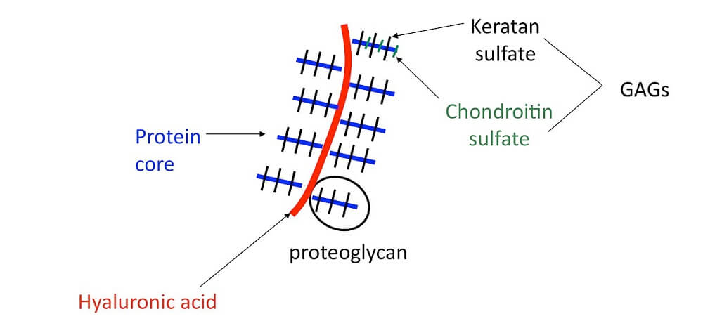 proteoglycan glycoprotein glycan