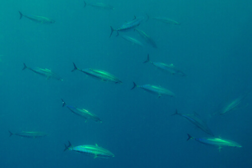 An underwater image of a loose shoal of skipjack tuna
