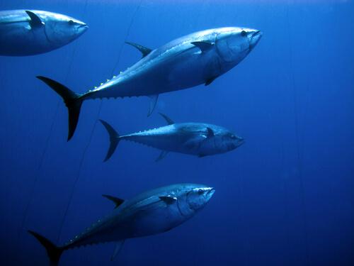 Schooling bluefin tuna swimming upward toward the surface
