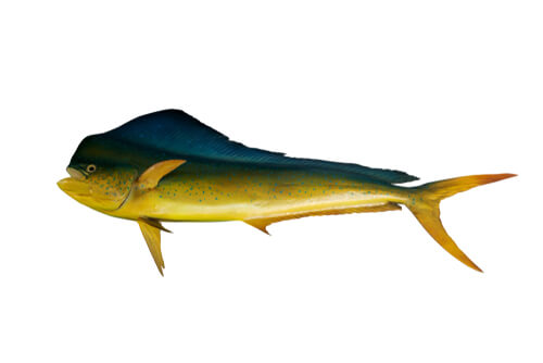 A rendering of a mahi-mahi isolated on a white background