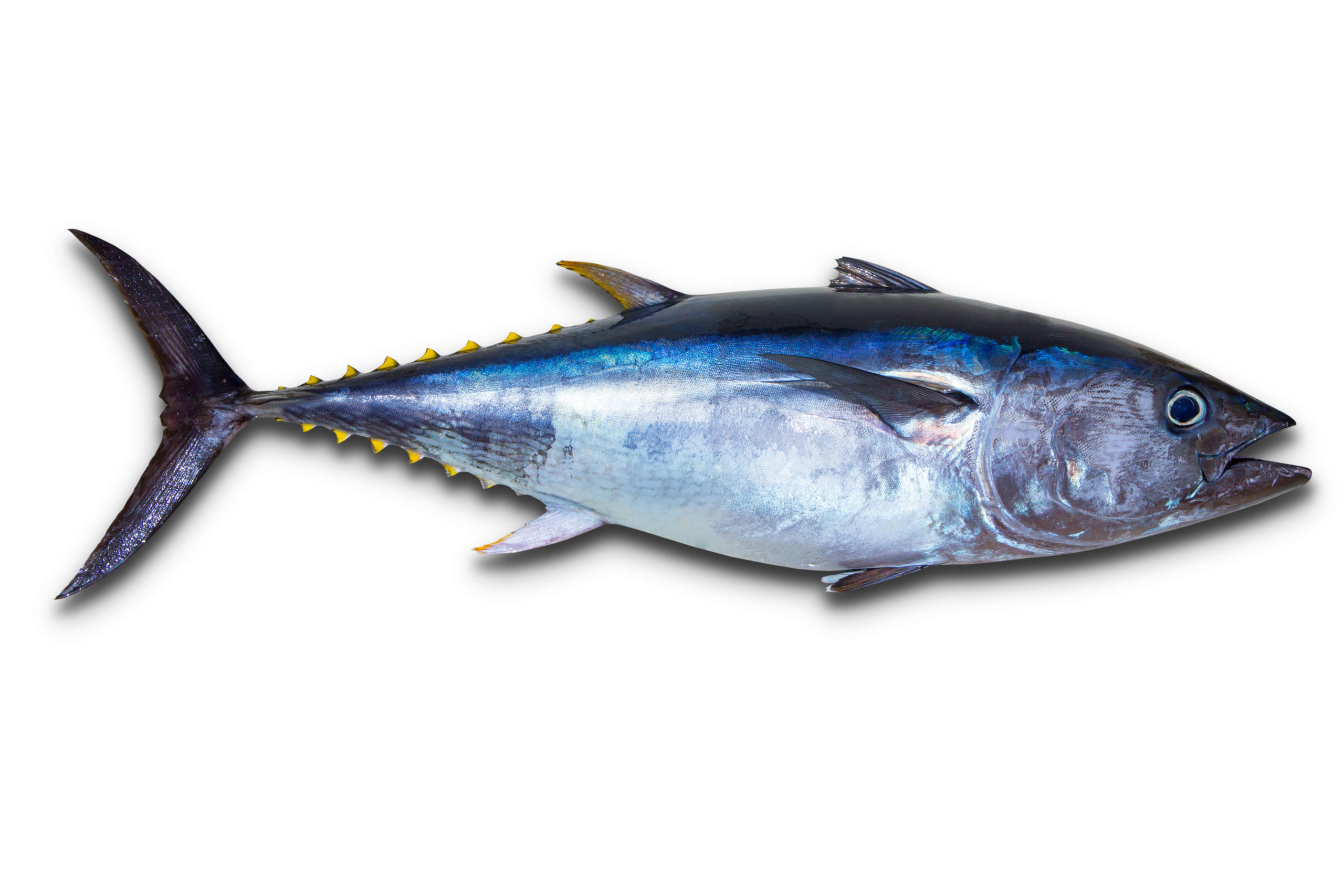 A yellowfin tuna isolated against a white background