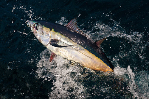 An albacore tuna breaching the surface of the water while hunting