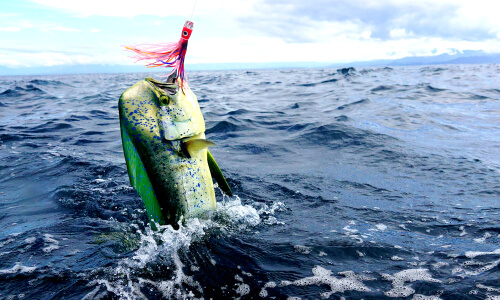 A mahi mahi emerges from the surface after being hooked by an angler.