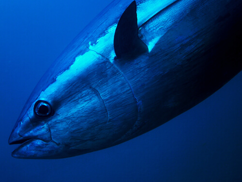 A closeup of a bluefin tuna swimming