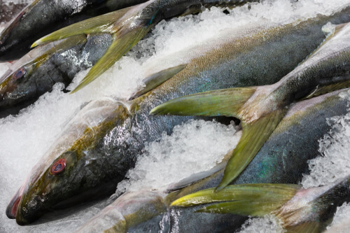 Several yellowtail lines head to tail on ice in a fish market
