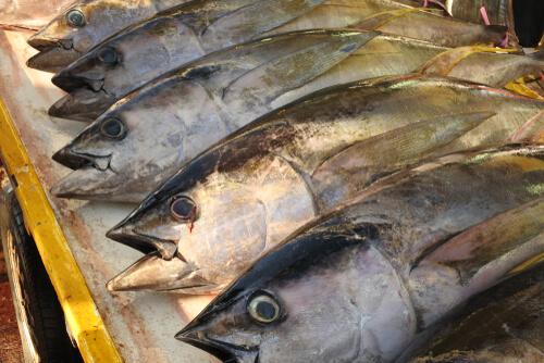 Several bigeye tuna on display at a frozen fish market