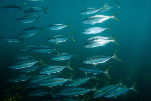 A school of yellowtail amberjacks shimmering in the sunlight penetrating the water