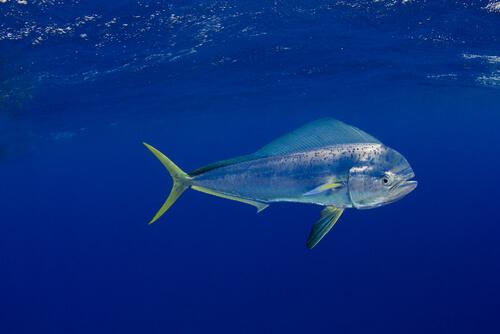 A mahi-mahi swimming alone near the surface