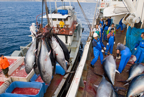 Bluefin tuna being harvested aboard a fishing vessel