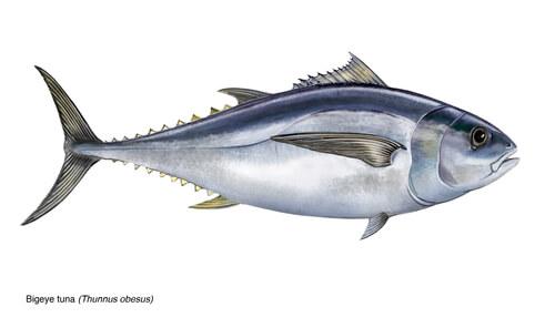 An illustration of a bigeye tuna in profile
