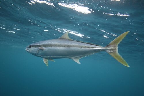 A yellowtail swimming just below the water's surface