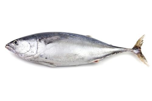 A skipjack tuna isolated on a white backdrop