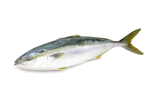 A yellowtail isolated on a white background