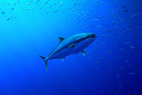 A yellowfin tuna approaching a schooling group of baitfish