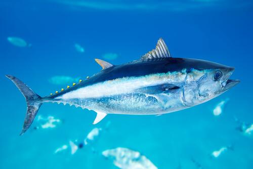 A juvenile yellowfin tuna swimming in clear blue water