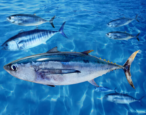 An albacore tuna in a large aquarium setting