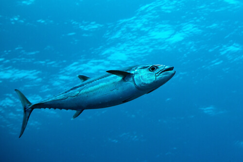 A swimming dogtooth tuna photographed from below and to the side