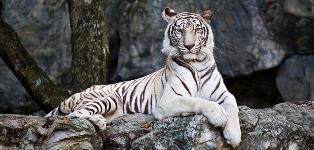 white tiger recessive phenotype homozygous