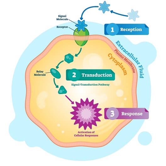 The various steps of cell signaling, including signal transduction