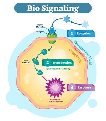 The basic process of cell signaling and cellular communication
