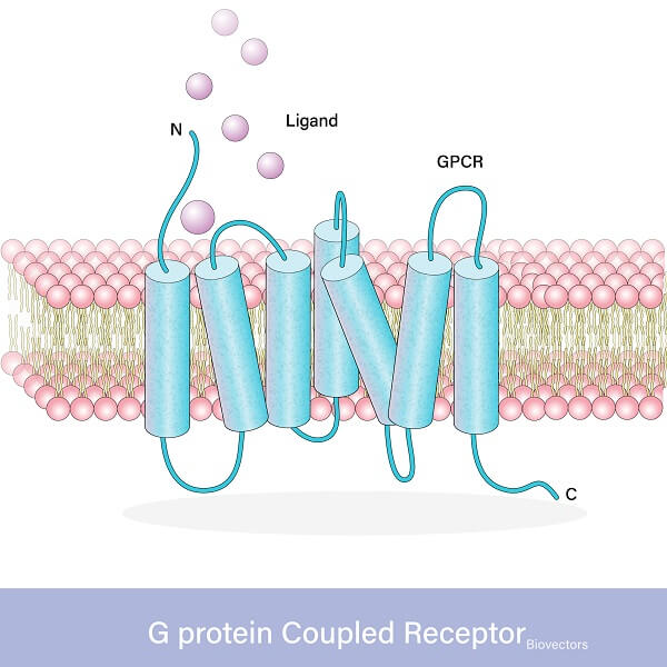 A G-protein-coupled receptor transfers a signal through the cell membrane