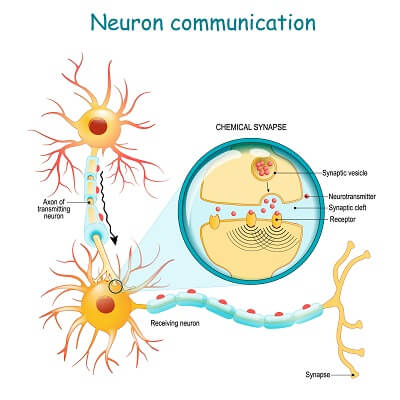 The operation of a neuron requires neurotransmitter molecules