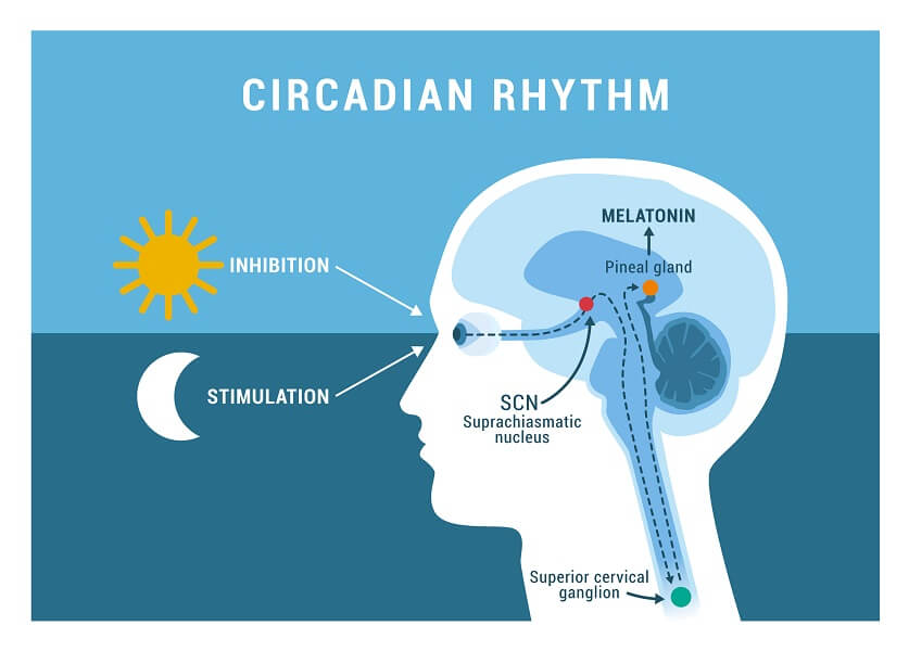 The overall process of creating your circadian rhythm involves many signal transduction pathways
