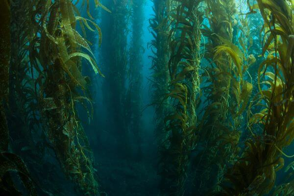 Giant kelp is the largest marine plant