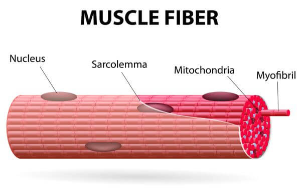 Muscle tissue is made of bundles of muscle fibers