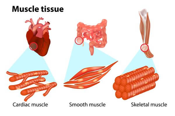 There are three types of muscle tissue