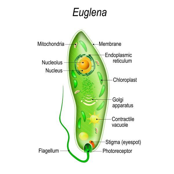Do protists have a nucleus?