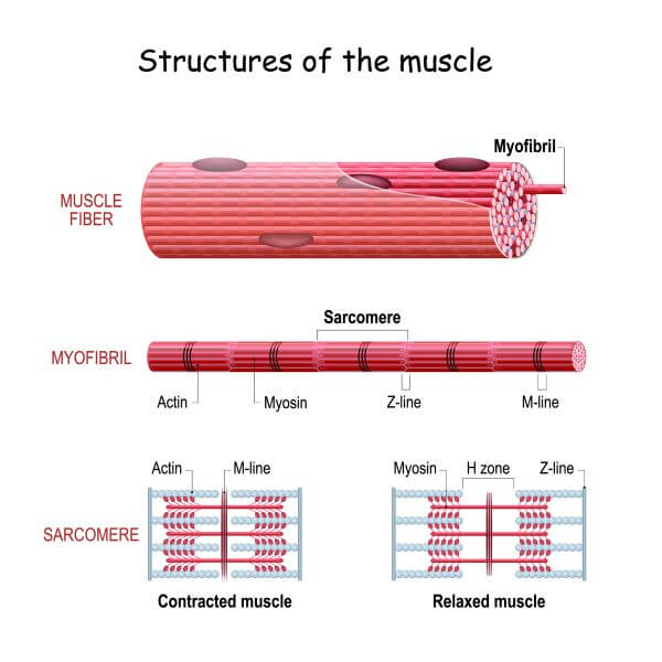 Sarcomeres are the contractile units that make up myofibrils