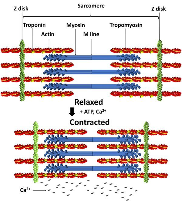 The Sliding Filament Model explains the mechanism of muscle contraction